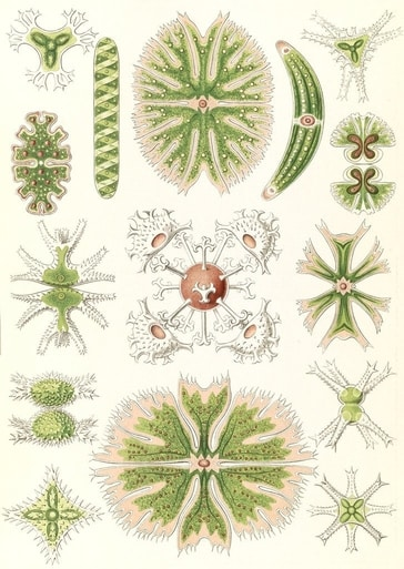 A poster of algae illustrations by Ernst Haeckel