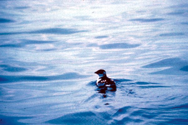A Little Auk out at sea