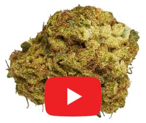 Color Cannabis Pedro's Sweet Sativa