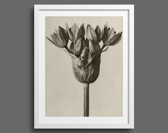 Garlic Plant - Plate 94