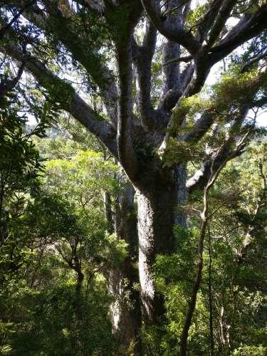 Big Kauri tree