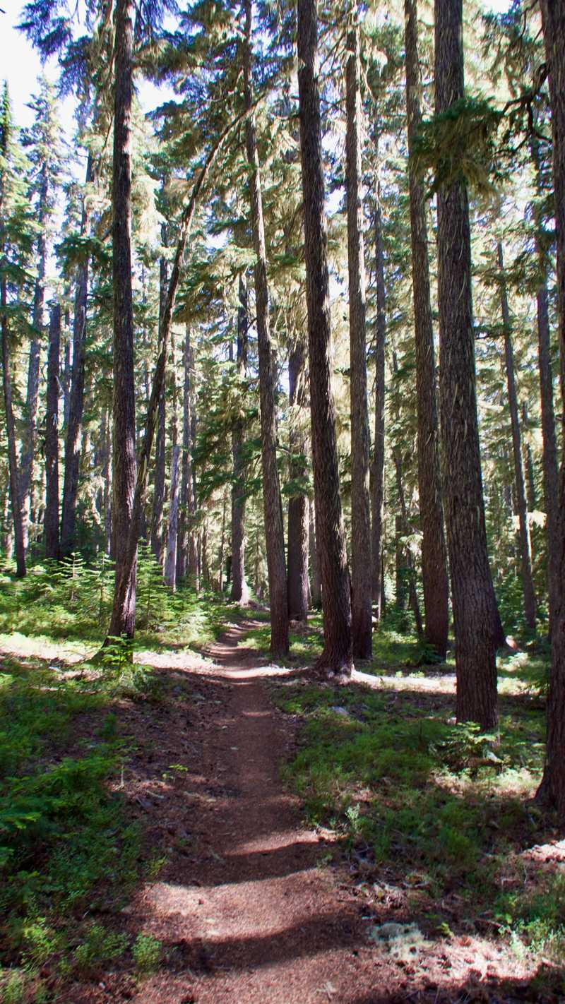 Tall trees on the PCT
