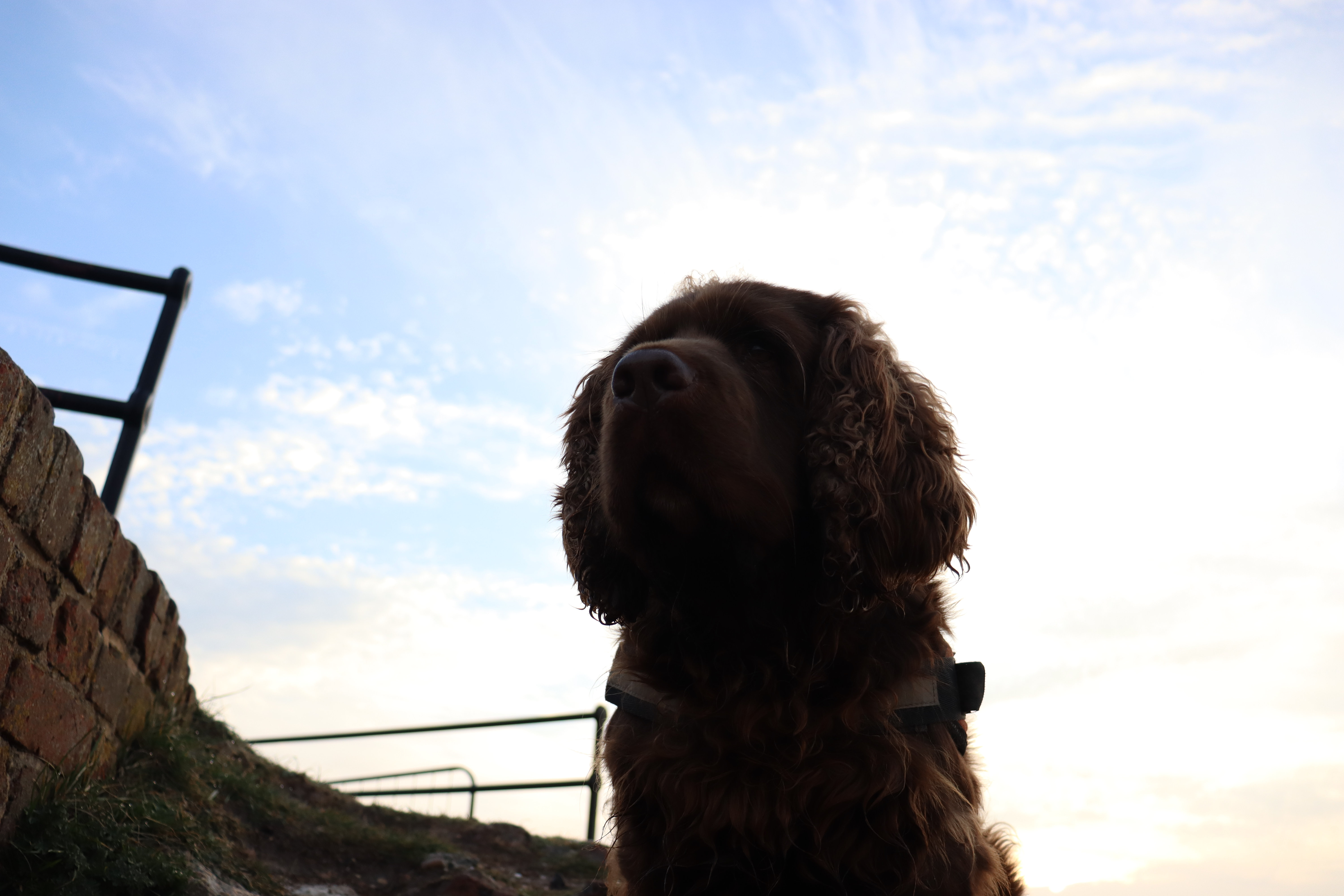 Bruno the Sussex spaniel looking into the distance with the perpective of the photo taken from just below his vantage point at Shoreham fort.