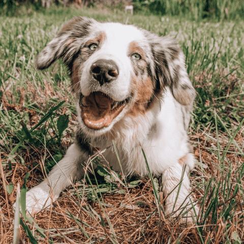 Dog CBD Info