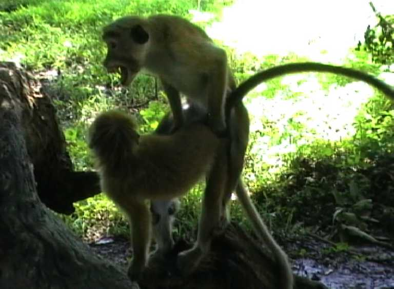A pair of macaques copulating in Yala, Sri Lanka