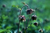 Water Avens flowers in June