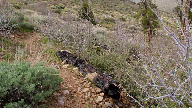 Burnt log next to trail