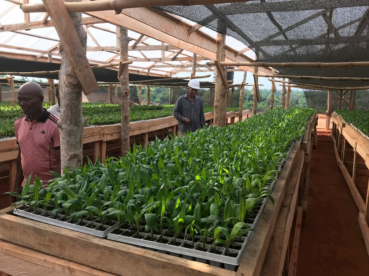 Preparation of the oil palm seedling.