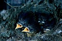 A nest of juvenile Robins