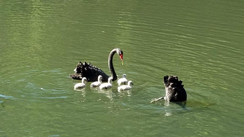 Black swan couple and their goslings