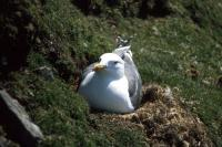 A Lesser Black-backed Gull on the nest