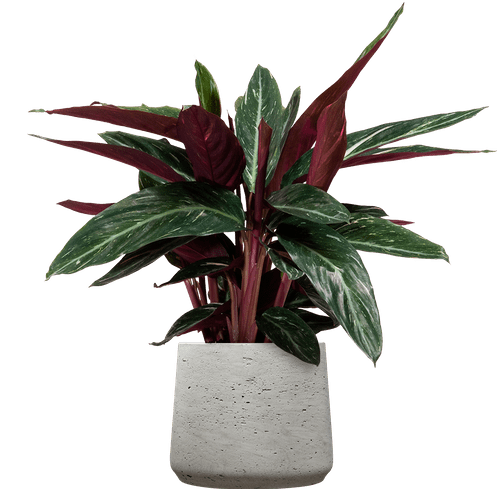 Magicstar Prayer Plant (Stromanthe thalia 'Magicstar' ) - from £30