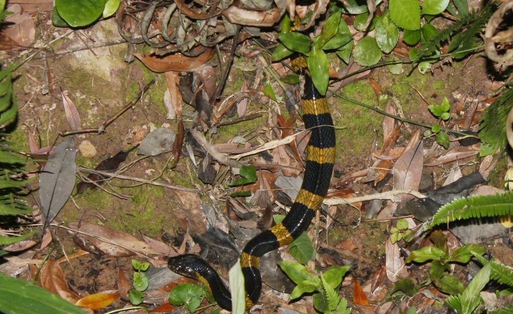 Kirat común o rayado en el bosque
