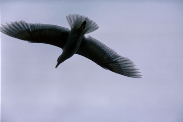 A Glaucous Gull silhouetted in flight