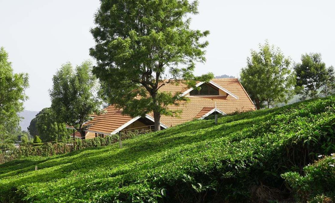 Tea estate greens and the backdrop of a house