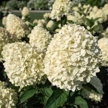 Hello, nice to meet you. I'm Living Cotton Cream® and I last a lifetime. I'm a compact plant with beautiful and small cream-colored flowers and I bloom several times during the season. #livingseries #hydrangeapaniculata . . . #white #hydrangea #paniculata #hydrangeaofinstagram #hydrangealove #compactflower #flowery #livingcottoncream #floweryplant #plantsofinstagram #gardenflowers #flora #hydrangealovers #hydrangeanursery #livingcreations