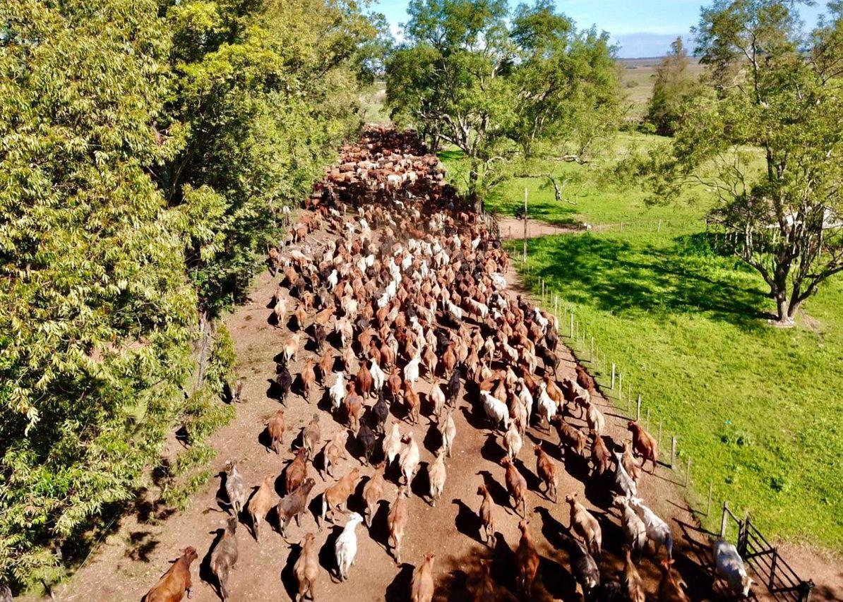 Grupo de vacas