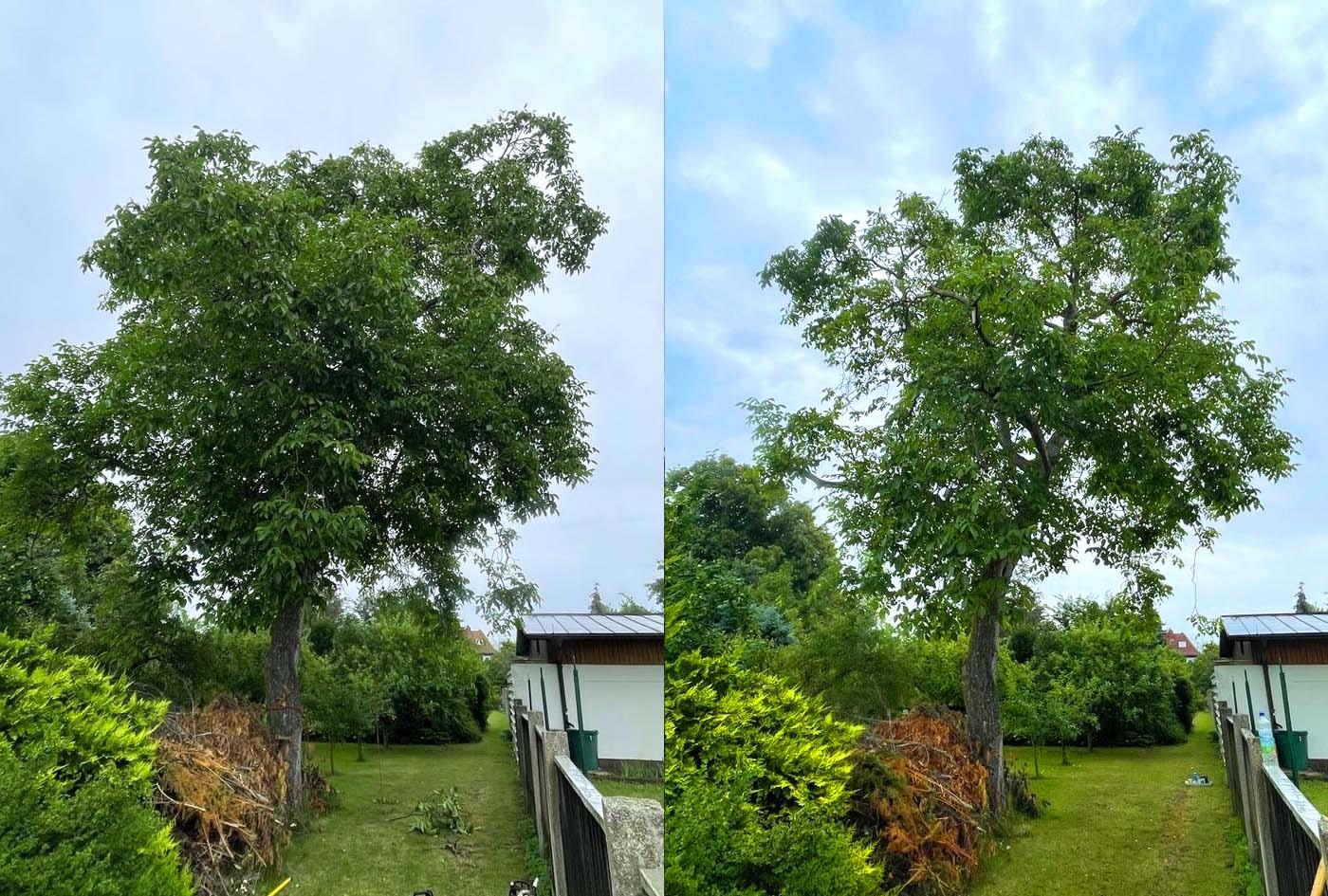 Baumpflege eines Nussbaumes in Leipzig/Markkleeberg