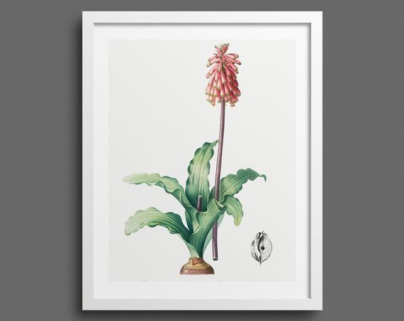 Hyacinth (Veltheimia) by Pierre-Joseph Redouté