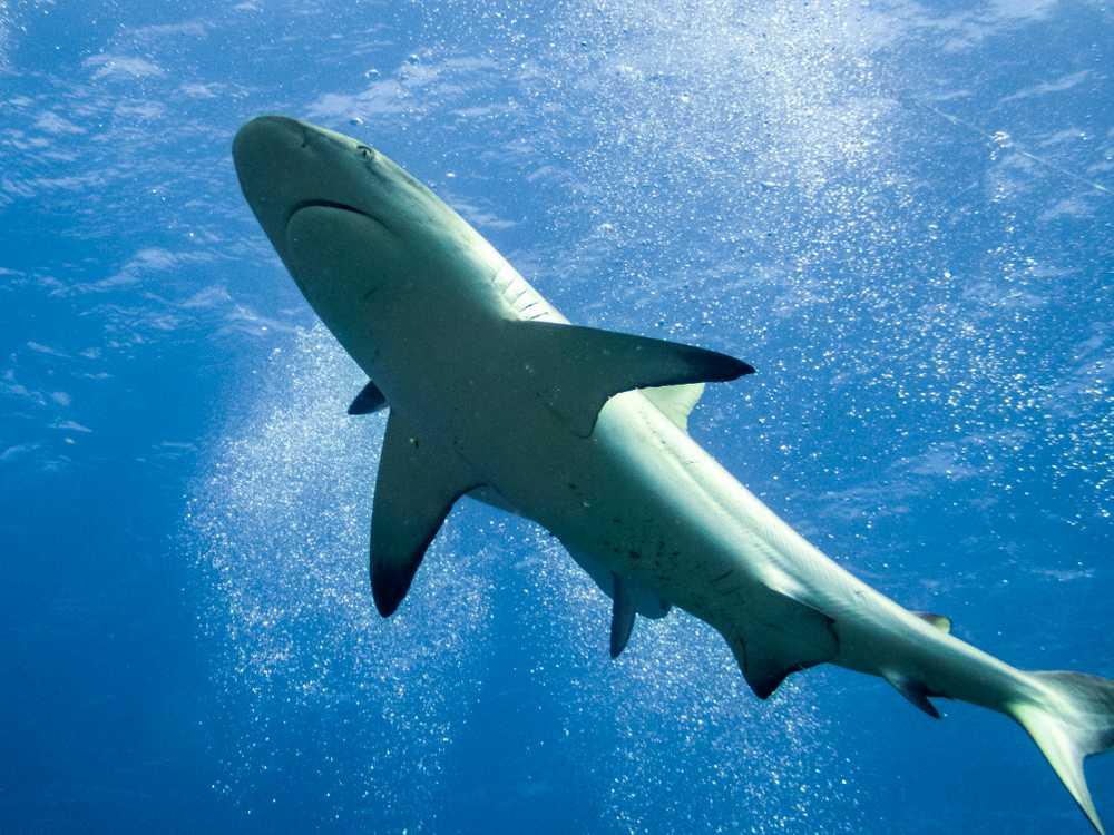 Grey Reef Shark, Coral Sea