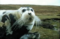 A Bearded Seal.