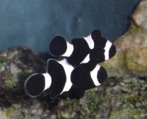 Saltwater Marine Fish - How To Breed Clownfish