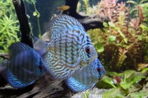 Tips on Sexing Discus Fish