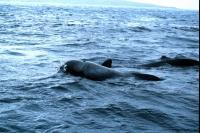 A Pilot Whale surfaces to breath