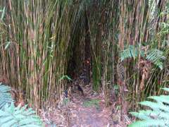 Tunnel through bamboo forest