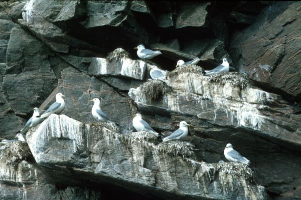 Kittiwake nests