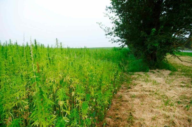 Outdoor Korean cannabis farm