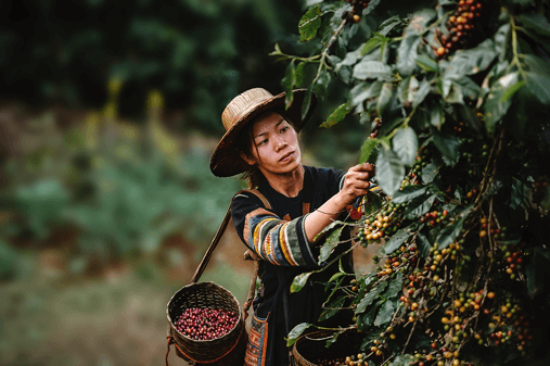 A lady picking berries