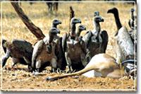 Vanishing Vulture