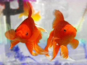 10 Simple Rules To Keep Your Goldfish Healthy