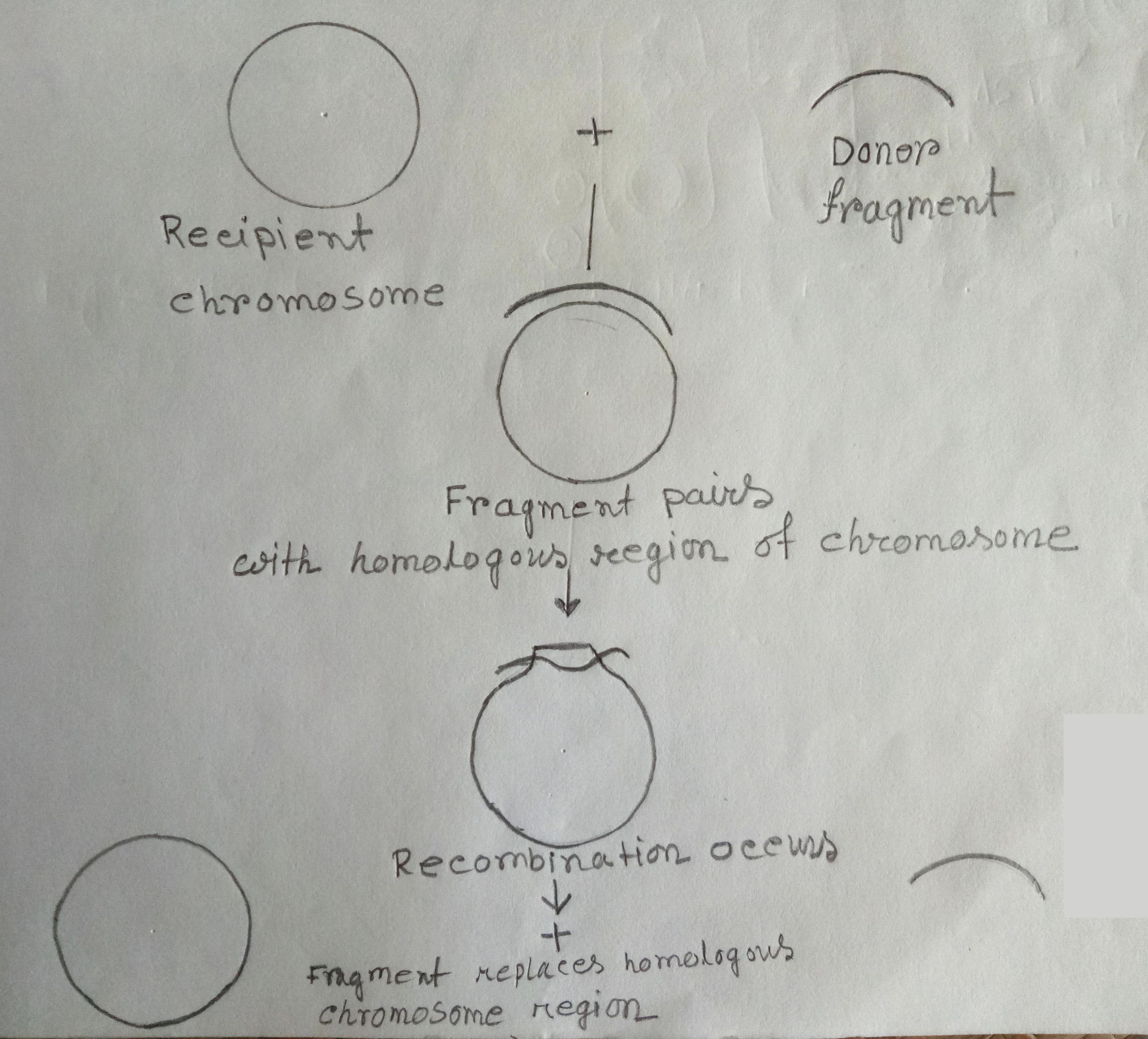Recombination between donor chromosomal segment & recipient chromosome