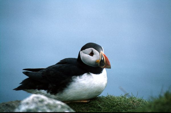 A Puffin sits down for a rest