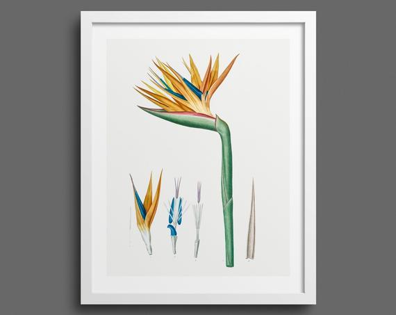 Paradise Flower by Pierre-Joseph Redouté