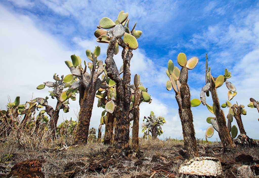 Opuntia cactus at Galapagos island