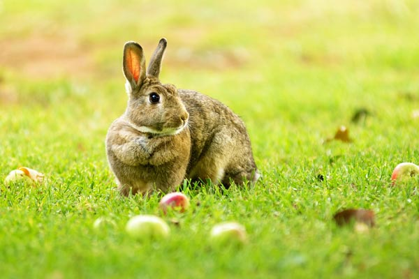 A bunny on the lawn.