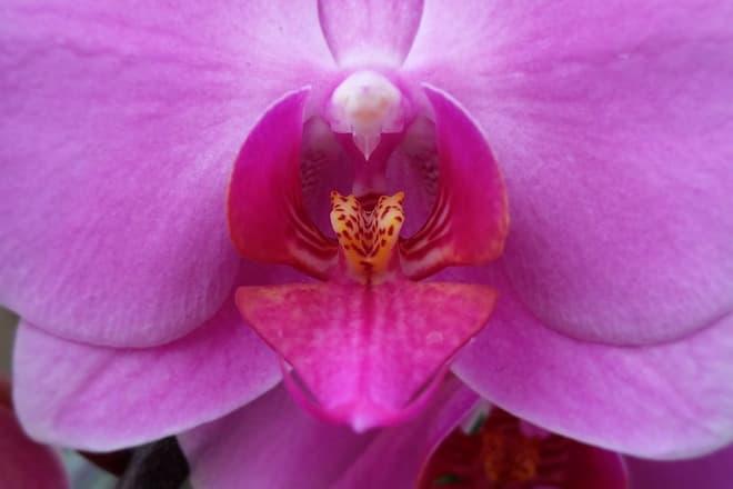 A deep pink orchid flower.