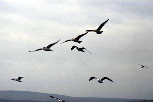 A Pomarine Skua amongst gulls