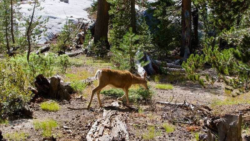A mule deer wanders in Big Pete Meadow
