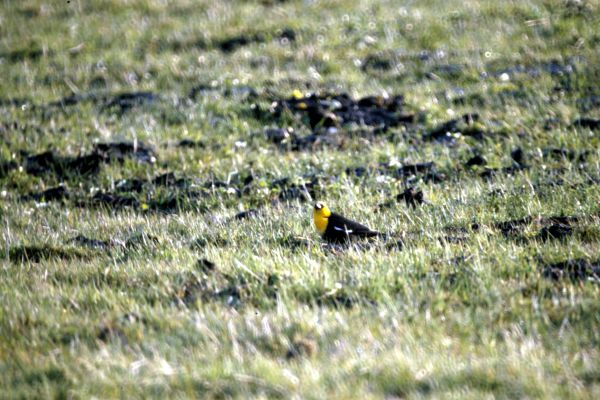 A Yellow-headed Blackbird on the ground