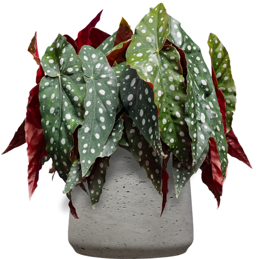 Polka-dot Angelwing (Begonia maculata - 14cm ) - from £30