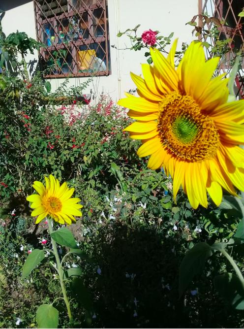 patio frente a casa, grandes girasoles crecen