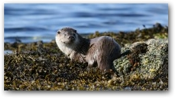 Male otter on sunny day  » Click to zoom ->