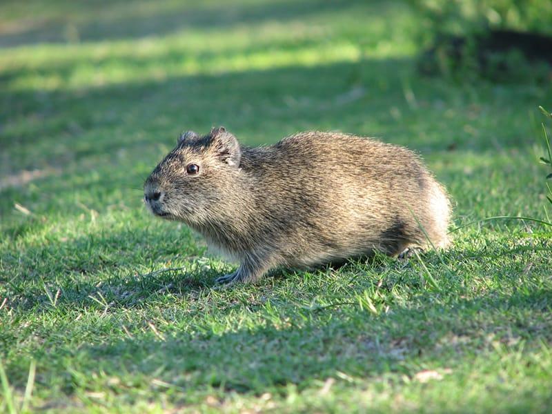 Preá Cavia aperea. Sua morfologia é semelhante à dos porquinhos-da índia porém seu pelo é totalmente castanho.