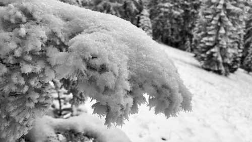 A tree branch bending under the weight of snow