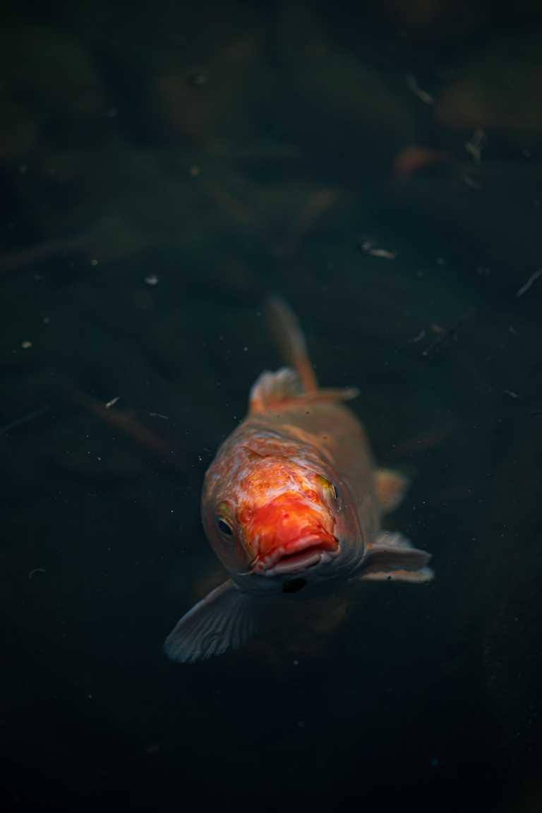 A koi fish in Hong Kong