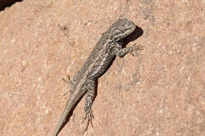 A brown lizard suns itself on a red rock.